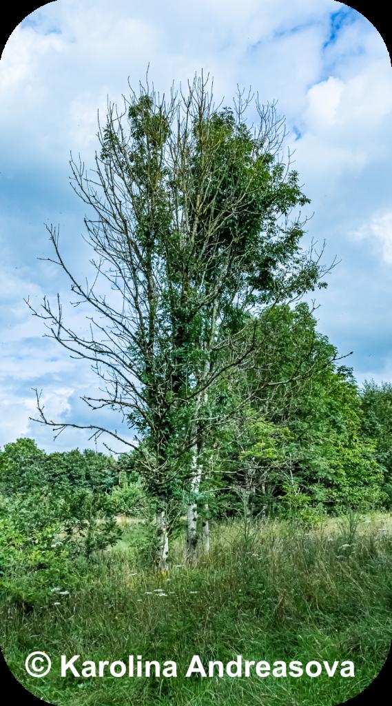 Dying Ash Tree by Karolina Andreasova